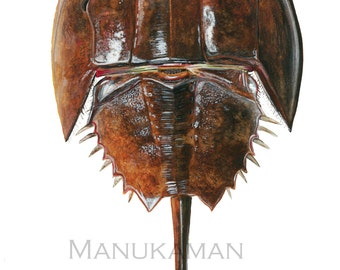 Horseshoe Crab Study 3 in Watercolor. Signed Print by Damon Crook (for 11 x 14 inch frame)