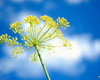 Dill, Nature photography, Yellow flower, Blue sky, Flower print, Giverny France, Blue and Yellow, Bright summer décor, Vibrant modern art