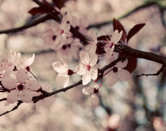 Cherry Blossom photo, cherry blossom canvas, cherry blossom print, spring photo, pink art