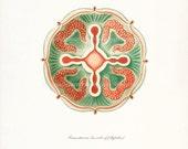 Ernst Haeckel Coastal Decor Fantasy Sea Life Giclee Art Print, Natural History Jellyfish No. 1 (Siphonophorae) 8x10 coral