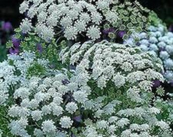 15 Queen of Africa Lace Seeds-1140A