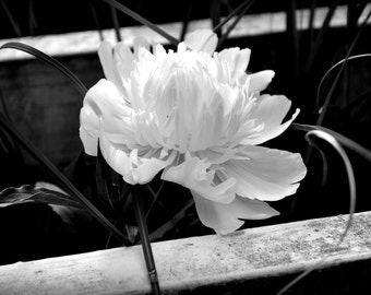 Black and White Flower Digital Photograph - Instant Download