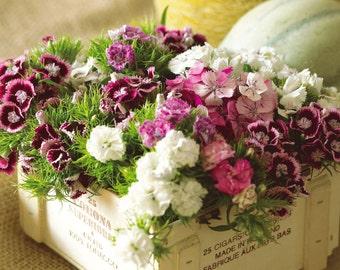 Heirloom 1000 Seeds Dianthus chinensis Carnation Sweet William Heirloom Heddewig Rainbow S046