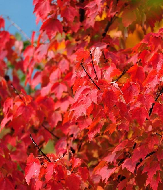 Heirloom 10 seeds red maple scarlet maple acer rubrum - Arce rubrum bonsai ...