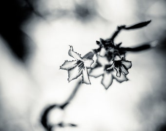 Flower Photography Contemporary Art - Impala Lily Nature Photo - Sabi Star Monochrome Home Decor - Fine Art Black and White Photography