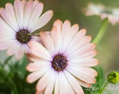 Pink Daisy,Daisy, Closeup, Landscape photography, Texas, Hill Country, Western, flowers, Texas wildflowers, fine art print