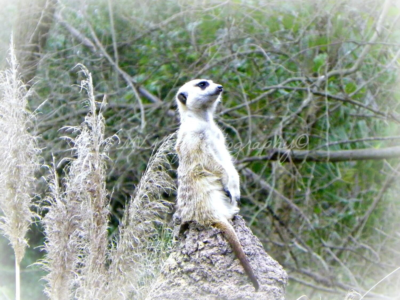 Meerkat Photo Card / M... Meerkat Pictures To Print