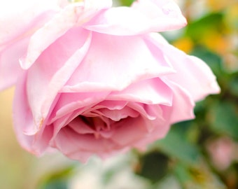 Mauve Rose - Garden Flower Photo Print - Size 8x10, 5x7, or 4x6