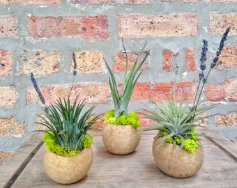 Air Plant Arrangements - SET of THREE - Perfect for place settings at dinner parties or just to brighten up your desk