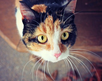 Calico Cat Photography Orange Black Cat Yellow Eyes Whiskers Gift for Cat Lovers Crazy Cat Lady Decor