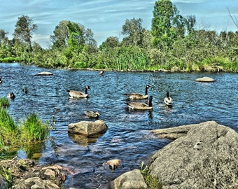 Swimming ducks bird photography, rocks and water scenery photography, Canada ducks art print, summer lake scenery