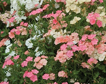 Phlox, Watercolor Memories Mix, Showy, 20 Seeds, Garden, Container Planting
