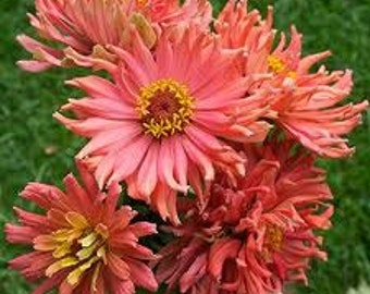 Pink Senorita Zinnia, Rare Range of Pinks, Attract Hummingbirds, 20 Seeds