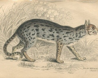 Antique Hand Colored Steel Engraved 1843 Book Plate Print Jardine Natural History Library Mammalia Lions Tigers