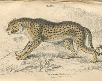Antique Hand Colored Steel Engraved 1800's Book Plate Print Jardine Natural History Library Vol XVI Mammalia Lions Tigers Leopard Cat