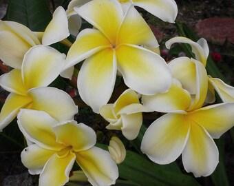 Plumeria Rare SUNBEAM GLOW 12 inch Tree Cutting White petals yellow center