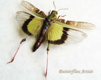 Amazing Real Grasshopper Yellow Green Wings Framed In Shadowbox