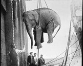 Transporting of a Circus Elephant, Loading onto Ship 1930s, Crazy Picture   Old
