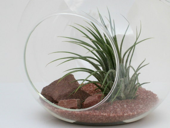 Terrarium Kit - Sedona - Hanging Glass Globe Terrarium with Air Plant - Tillandsia