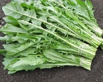 Chicory Greens - 'Catalogna Emerald', HEIRLOOM, Very Hardy. ORGANIC, dandelion leaf salad greens