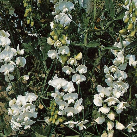 on sale perennial sweet pea vine lathyrus latifolius pearl mix, Natural flower