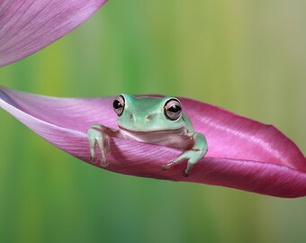 Print of The cute whites tree frog
