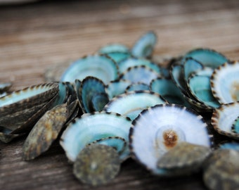 Beach Decor - Green Limpet Shells Set of 100 - Bulk Shells - Wholesale Shells - Craft Shells - Jewelry Supply