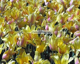 Tulips, Dallas Arboretum and Botanical Garden