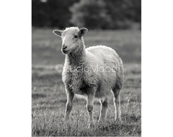 Sheep Art Photography Print, Black and White Sheep Photo, Home Wall Decor Square 8x10, 8x12, 12x18, 16x24, 20x30 Large Canvas (no.9871)