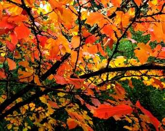 AUTUMN Tree Photograph; Fall LEAVES Photo; Fine Art Photography of a tree in autumn red orange yellow leaves black art decor 5x7 8x10 11x14