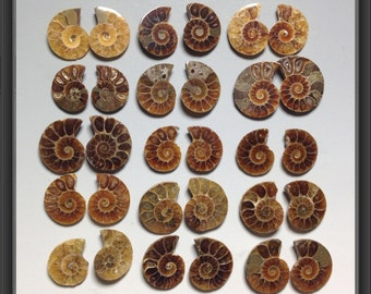 Ammonite - from 19 to 30mm large