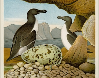 """1882 Matted Antique Bird Print  """"Razor Billed Auk"""" Thomas Gentry First Edition Nest and Egg Ornithology Natural History  11 x14"""""""