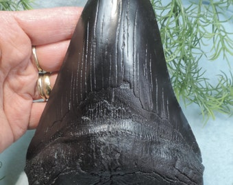 Huge 7'' Long Megalodon Sharks Tooth Replica!!!!!