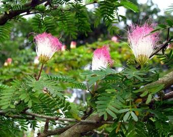 15 Seeds Samanea saman, Rain tree seeds,  monkey pod.Tree