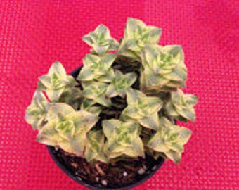 Small Succulent Plant Crassula Perforata Variegata