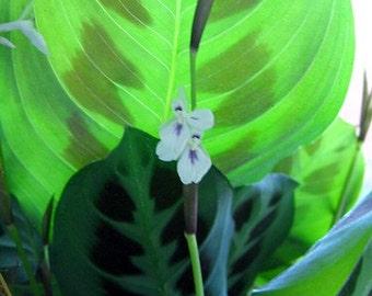 "Hirt's Green Prayer Plant - Maranta - Easy to grow - 4"" Pot - Easter Plant"