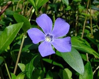 "Myrtle 48 Plants - Periwinkle/Vinca - Hardy Groundcover -  2 1/4"" Pot"