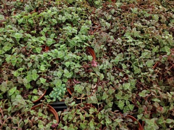 Succulent Plant Crassula Calico Kitten Beautiful Variegata