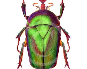 "Beetle Colored Pencil 8"" x 10"" Print"