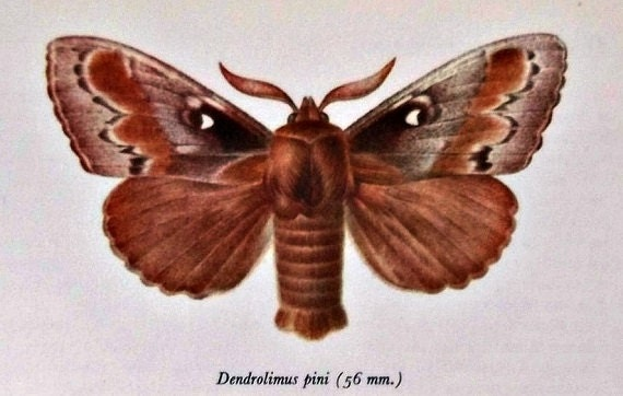 Vintage color  book plate. Old print.  Butterflies Dendrolimus pini and Hyloicus pinastri. 1966. 8 x 10'1 inches.
