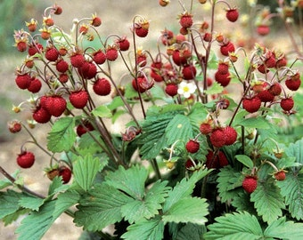 lot of 25 Wild Woodland Strawberry LIVE PLANTS Rhizomes ~Edible fruit ~Jams,Jellies,Pies