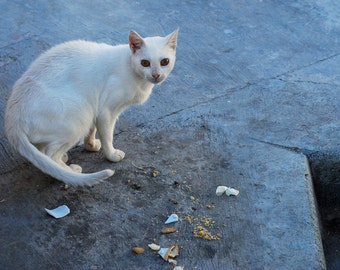 White Cat from Tunisia Art Photography Blue Animal