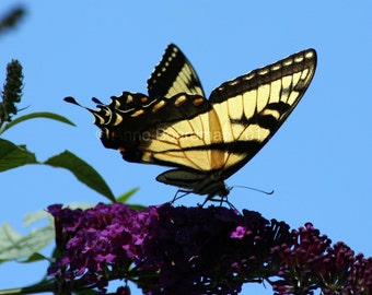 Tiger Swallowtail Butterfly - Jersey Shore, NJ USA