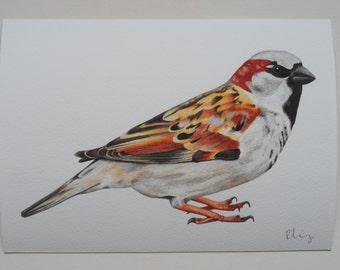 House Sparrow Illustration Giclee Print, A5