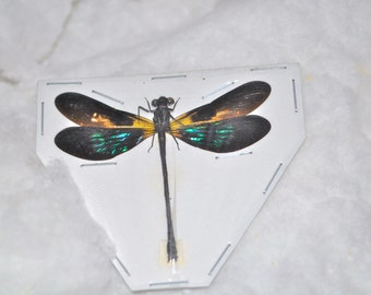 OVERSTOCK: Teal Glittering Damselfly, Real Dragonfly