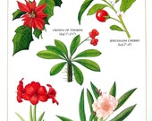Botanical Print - Beautiful Poisonous Flowers and Plants - Poinsetta, Crown of Thorns, Amaryllis, Oleander - 1990 Vintage Book Page