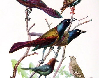 Rusty Blackbird, Bobolink, Purple Grackle, Cowbird - Bird Print - 1936 Vintage Book Page - 8 x 11