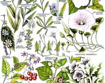 1965 Botanical Print - Blue Gromwell, Bindweed, Woody Nightshade, Thorn Apple - British Flowers Vintage Book Plate P62