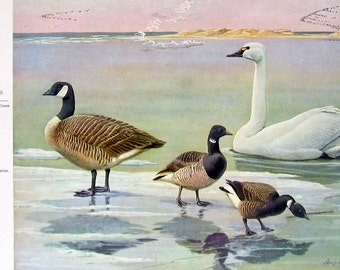 Bird Print - White Fronted Goose, Blue Goose, Snow Goose, American Brant, Whistling Swan - 1959 Vintage Bird Book Page
