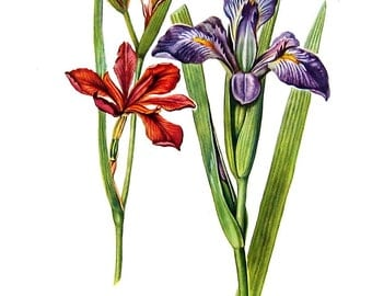 Red Iris - 1954 Botanical Vintage Book Plate 11 x 8